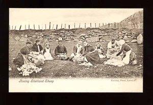 rooing_shetland_sheep